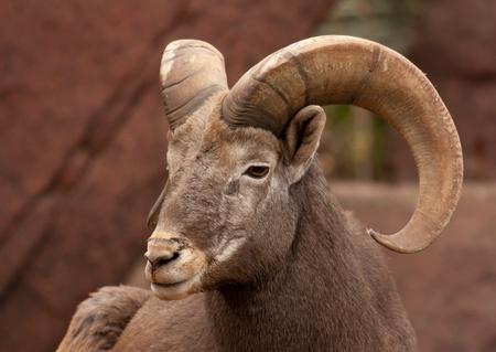 mouflon: Ovejas en una roca Foto de archivo
