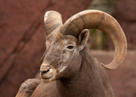 mouflon: Sheep on a rock