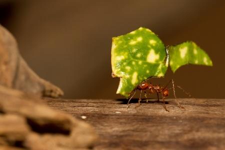 ant leaf: Una hormiga cortadora de hojas está llevando a una hoja