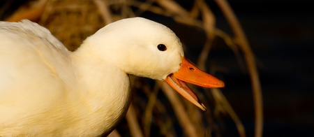 bedraggled: A close-up of a white duck Stock Photo