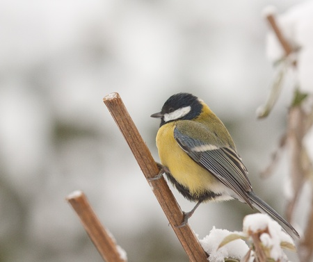 A blue tit in the snow  photo
