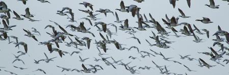 Flying barnacle goose photo