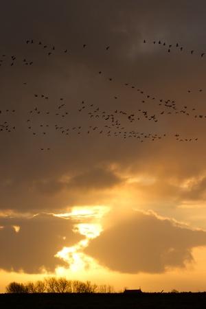 v lake: Flying barnacle goose during sunset Stock Photo