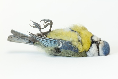 A close-up of a deceased blue tit Stock Photo