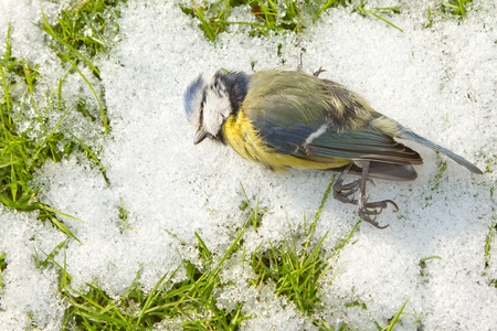 caeruleus: blue tit starved to death and lies on the cold snow