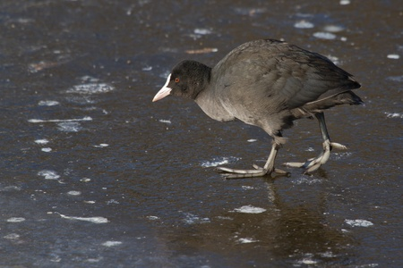 A common coot on the ice Stock Photo - 12595767