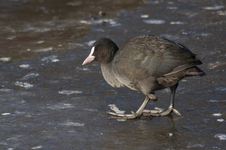 A common coot on the ice Stock Photo - 12595676