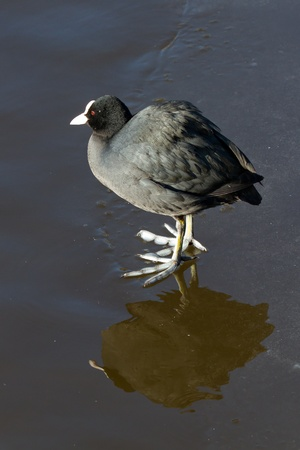 A common coot on the ice Stock Photo - 12595690