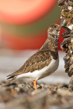 rudy: A Ruddy Turnstone is eating a mussel