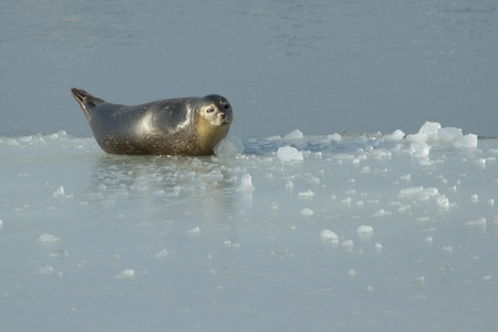 A common seal is resting on the ice  photo