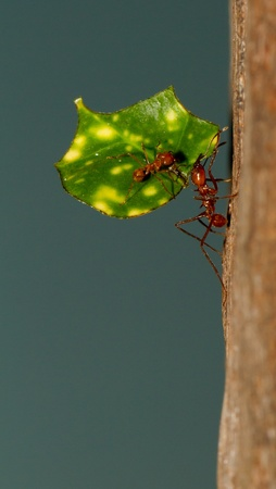 acromyrmex: A leaf cutter ant is carrying a leaf