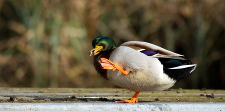 bedraggled: A wild duck in a funny position