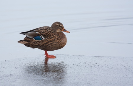 bedraggled: A wild duck on the ice