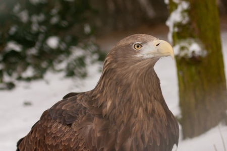 A close-up of an european eagle  photo