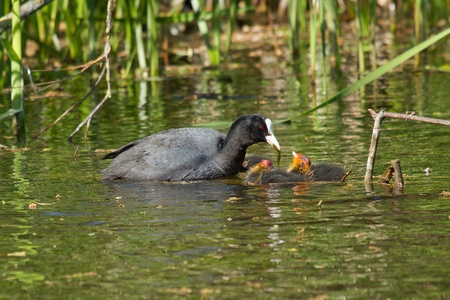 A coot is feeding its youngsters photo