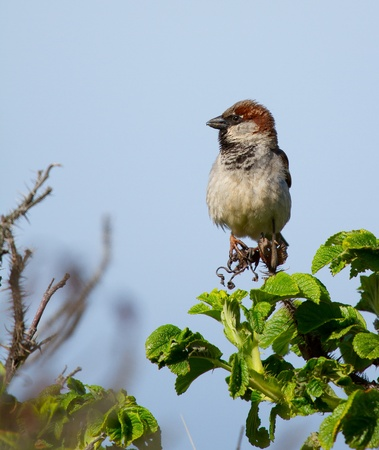 A sparrow on the lookout photo