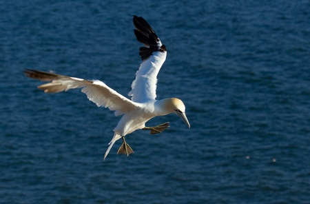 A flying gannet in Helgoland photo
