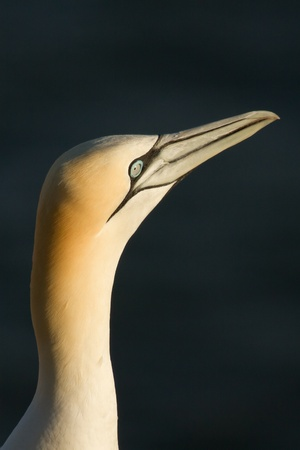 Close-up of a gannet in Helgoland Stock Photo - 12698738