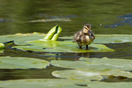 bedraggled: A small duck is standing on a leaf Stock Photo