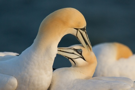 A loving couple of gannets photo