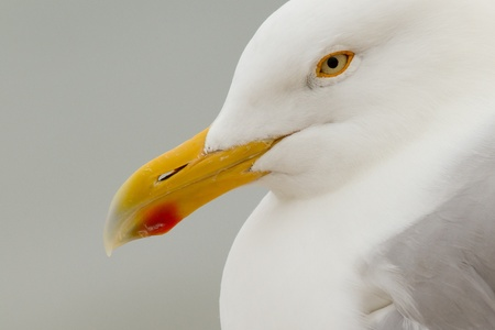 helgoland: A close-up of a Herring Gull in Helgoland Stock Photo