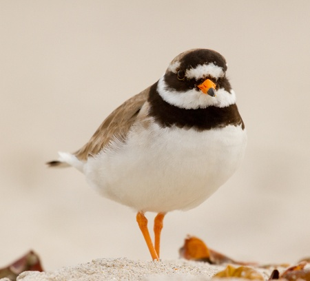 A ringed plover walking on the beach Stock Photo - 12699138