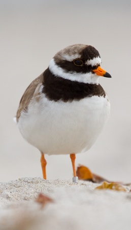 ringed: A ringed plover walking on the beach