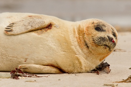 A common seal is resting on the beach Stock Photo