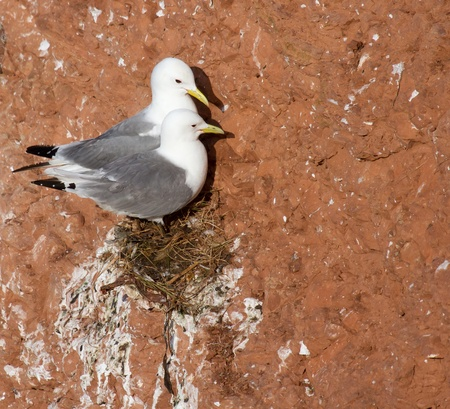 seabirds: A pair of seagulls is nesting on a cliff on Helgoland