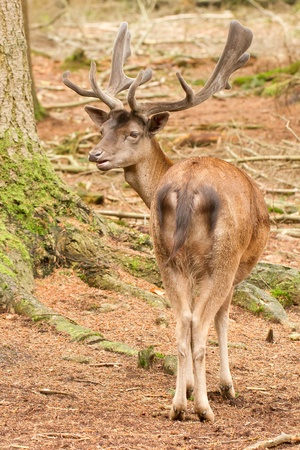 A red deer in the woods at Apeldoorn (Holland) photo