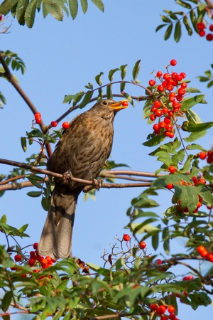 A blackbird is eating a berry photo