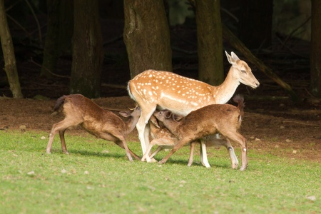 A fallow-deer is feeding its youngsters photo