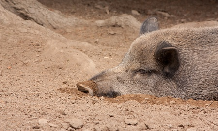 A wild boar is resting in the sand photo