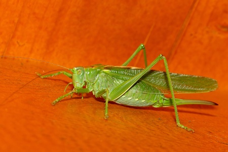A close-up of a grasshopper photo