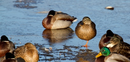 bedraggled: A group of wild ducks on the ice Stock Photo