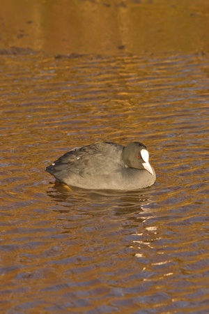 A common coot in the cold water Stock Photo - 12695606