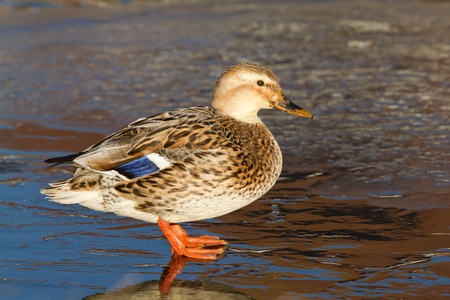 A wild duck on the ice photo