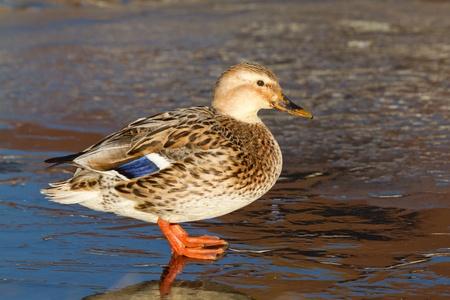 pantanos: Un pato salvaje en el hielo