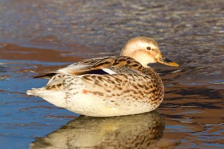 A wild duck on the ice photo