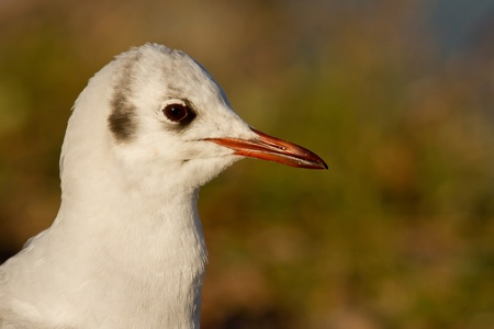 Close-up of a black-headed gull photo