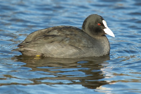 A common coot in the water Stock Photo - 12699205