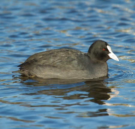 flocking: A common coot in the water Stock Photo