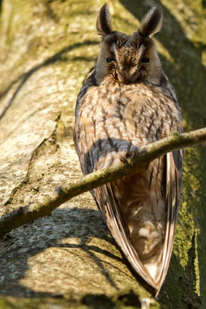 A sleeping long-eared owl in a tree photo