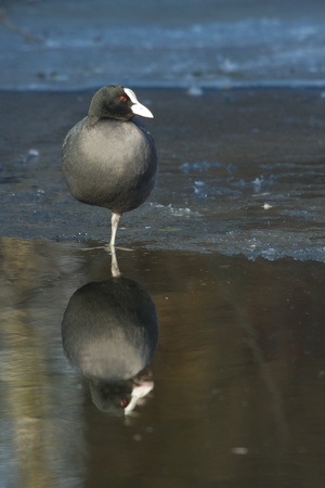 A common coot on the ice Stock Photo - 12699059