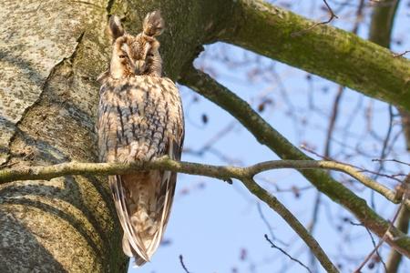 A sleeping long-eared owl in a tree photo