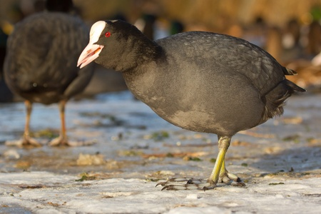 A common coot on the ice is eating Stock Photo - 12701312