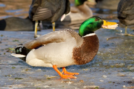 A mallard on the ice is eating bread photo