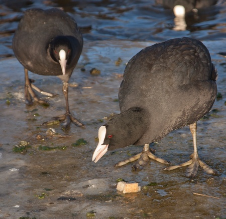 A common coot on the ice is eating Stock Photo - 12698870