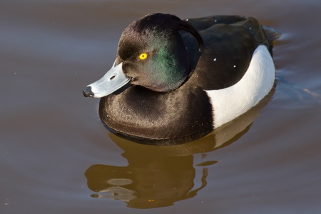 Male Tufted duck swimming on a lake Stock Photo - 12699193
