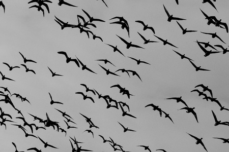 A group of Brent geese in flight photo